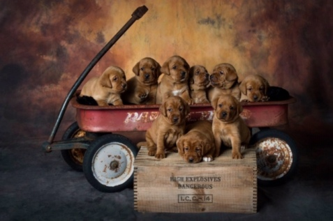 Fox Red Lab Puppies For Sale Balsam Branch Kennel Four Weeks Old (7)